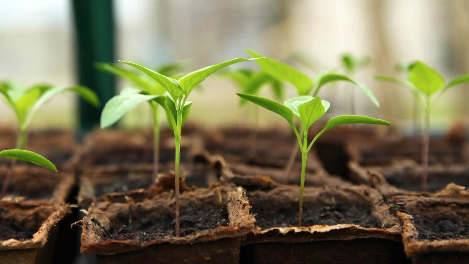Tray met een aantal kweekplantjes