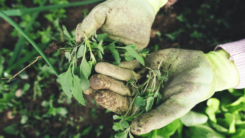 Persoon met handschoenen haalt onkruid uit tuin
